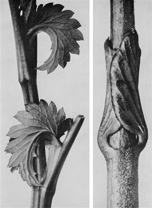 libro blossfeldt the complete published sangguisorba canadensis kanadischer wiesenknopf links vincetoxicum fuscatum schwalbenwurz