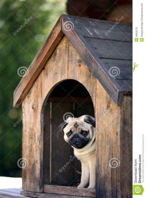 Funny Pug Dog In The Dog House Stock Image Image 45556175