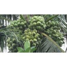 Bibit Kelapa Kopyor Kultur Jaringan bibit buah