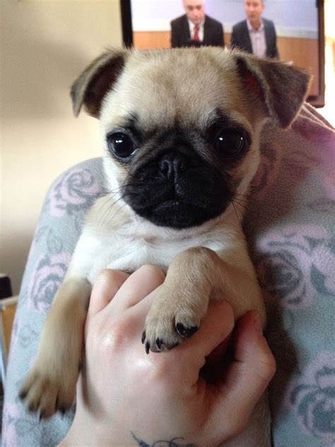 pugs for sale chelmsford pug x bulldog for sale chelmsford essex pets4homes