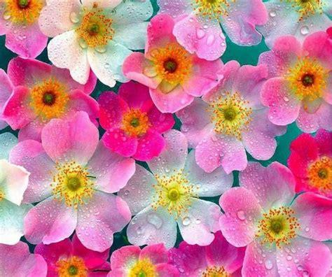 fiori immagine fiori immagini e foto da condividere sapevatelo