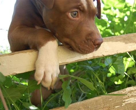 brown pit chocolate brown pitbull puppies i want pit