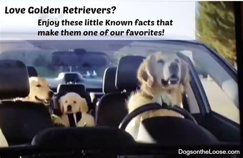 subaru golden retriever 5 amazing facts about golden retrievers
