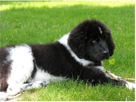 newfoundland puppies cost newfoundland puppy pictures jpg hi res 720p hd
