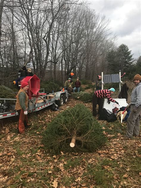 yale saf christmas tree harvest and sale