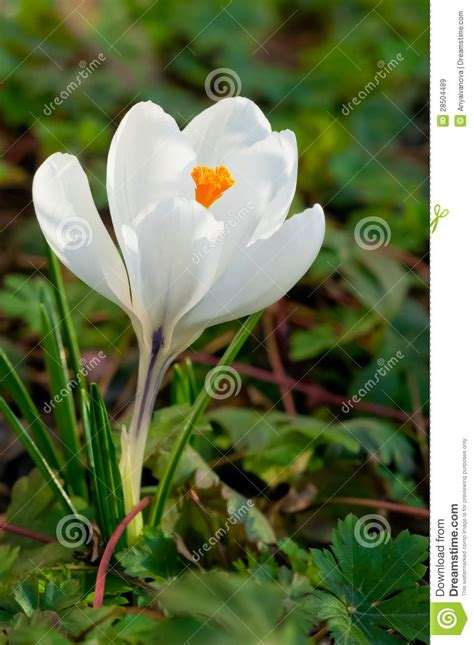 white crocus flower stock image image  wild blossom