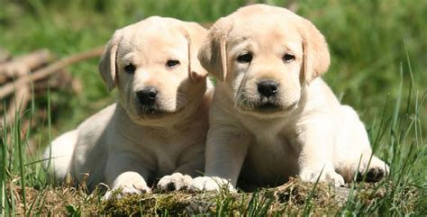 lab puppies for sale in louisiana labrador retriever puppies for sale louisiana photo
