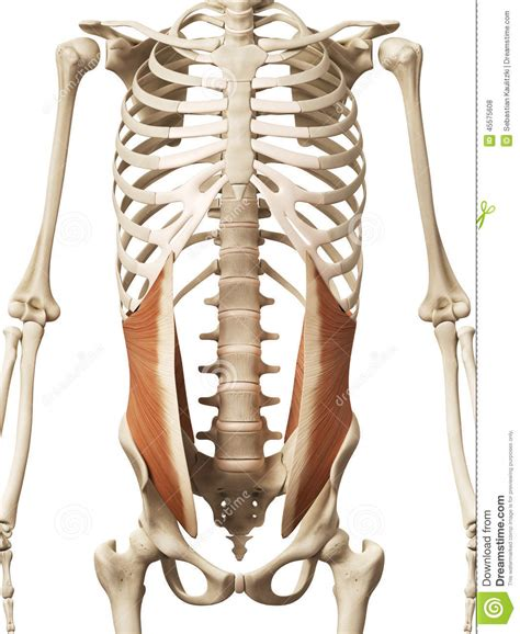 muscolo obliquo interno the oblique stock illustration image of detail
