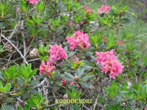 nomi fiori di montagna fiori di montagna di giovanna