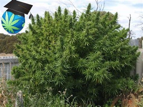 cannabis marijuana   plant yield youtube