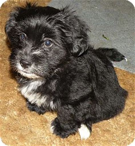 shih tzu and havanese mix flynn adopted puppy belvidere il havanese shih tzu mix