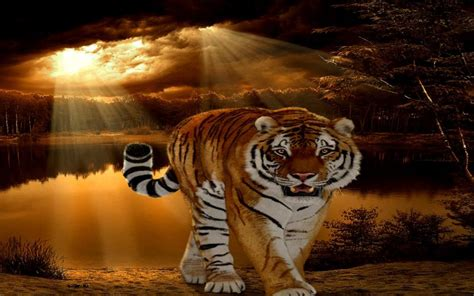 hd tiger sunset wallpaper