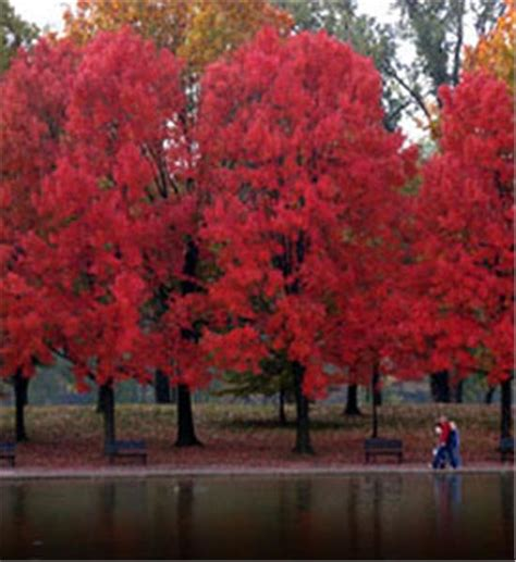 tree shop valley ny buy affordable maple trees at our nursery