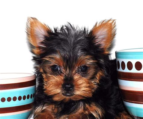 yorkies for free amazing teacup yorkie puppies for free adoption bethesda md asnclassifieds