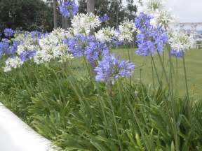 winter care for agapanthus learn how to care for