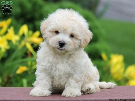 lhasa poo puppies for sale coy lhasa poo puppy for sale from new pa puppies for sale