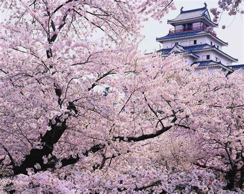 imagenes de korea japon paisajes blancos y rosas de los cerezos en flor de jap 243 n