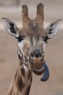 what color are giraffes tongues file giraffe sticking out tongue jpg wikimedia commons