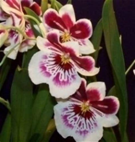orchidea nera fiore orchidee domande e risposte fiori quando regalare orchidee