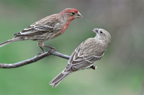 house finch male and female when invasive species clash competition between the house