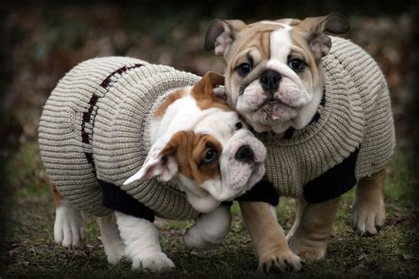 99 best images about bulldogs pugs and boxers on pug 99 best images about bulldogs pugs and boxers on pug and