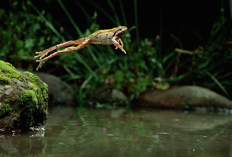 Throw Pillows by Pacific Chorus Frog Jumping Photograph By Michael Durham