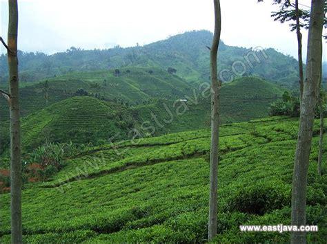 perkebunan teh andung biru probolinggo menawarkan panorama