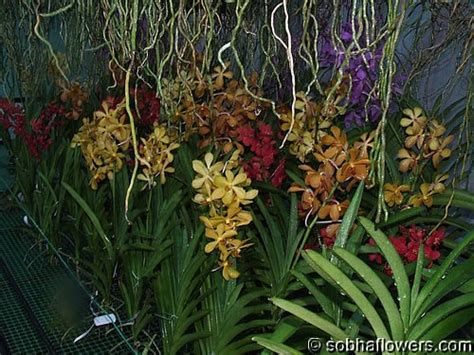 vanda orchid root system buy orchids  india indian