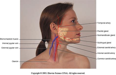 glands in the neck and throat diagram eck nursing 112 with altdoerffer at drexel