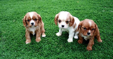 cani da appartamento pelo corto cani da appartamento taglia media pelo corto idee di
