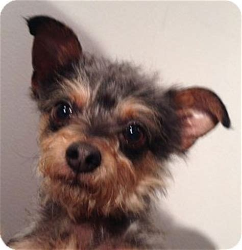 yorkie puppies seattle 154 best images about yorkies who needs a home on gilbert o sullivan