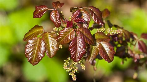 images of poison oak poison oak rash pictures and remedies