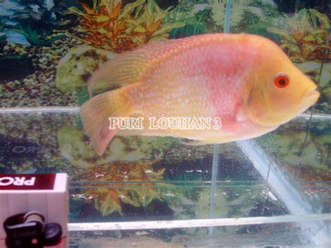 Makanan Ikan Hias Louhan louhan gb ikan hias purwokerto