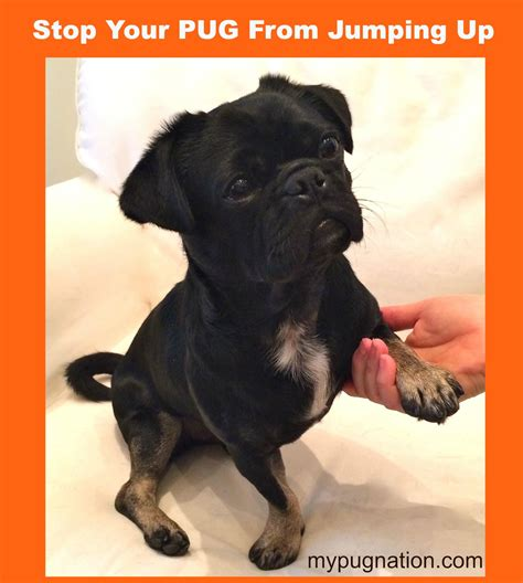 how to your pug to outside how to stop your pug from jumping up mypugnation