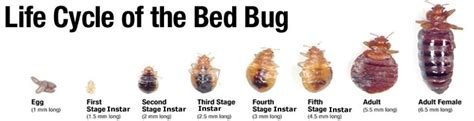 what does a bed bug egg look like what do bed bugs look like battle bed bugs