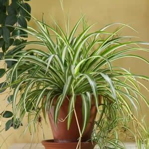 1000 ideas about peace lily on pinterest spider plants 1000 ideas about spider plants on pinterest plants
