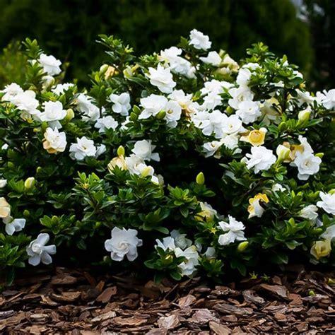 Gardenia Types Radicans Gardenia For Sale The Tree Center