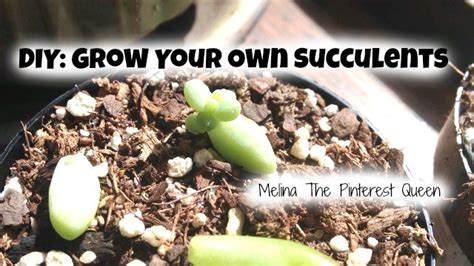 diy grow your own succulents from a leaf queenbeeing