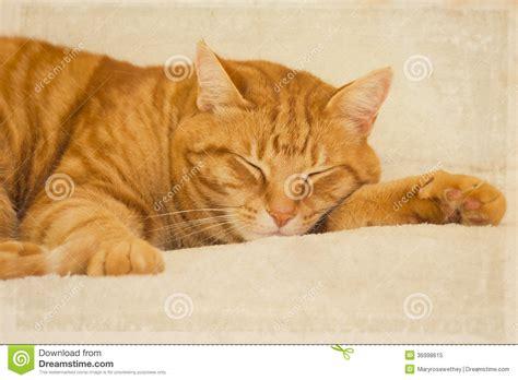 Sleeping Orange Cat orange tabby cat sleeping royalty free stock photo image