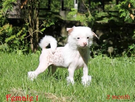 crested puppies for sale crested puppies for sale corby northtonshire pets4homes