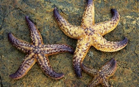 wallpaper bintang wallpapers starfish wallpapers
