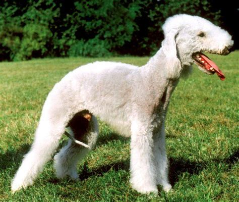 The Top 10 Ugliest Dog Breeds in the World   PetHelpful