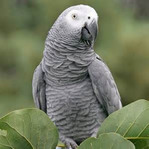 african grey parrot for sale in melbourne australia amazing amazon
