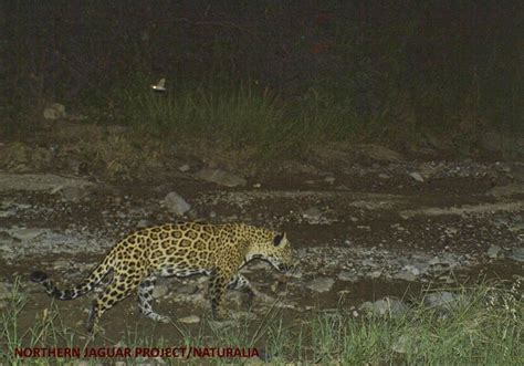 Northern Jaguar Project Northern Jaguar Project A Binational Effort To Save The
