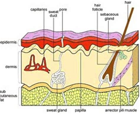 Obat Amandel Yg Herbal obat herbal memahami lapisan kulit