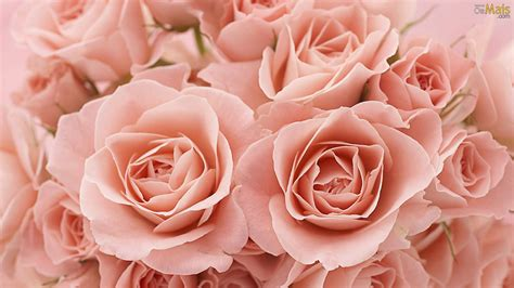 rose themed names osmais com papel de parede rosas papel de parede