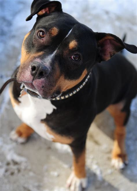 who is stronger pitbull or rottweiler 17 best images about pitweiler ivi on rottweiler mix and pit bull mix