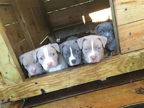 pitbull puppies for sale in san antonio tx gorgeous akc american pit bull terrier puppies petzlover