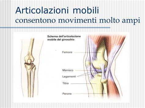 articolazione mobile apparato scheletrico 232 formato dalle ossa e dalle
