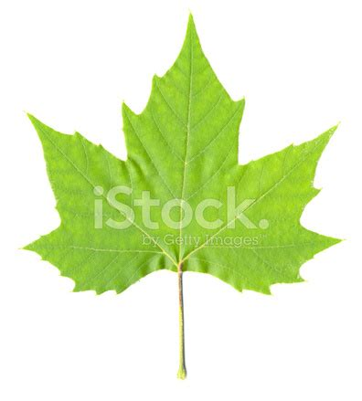 green maple tree leaf isolated stock photos freeimages com